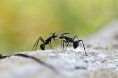 Hormigas negras grandes Foto de archivo libre de regalías