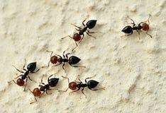 Hormigas principales rojas fotos de archivo libres de regalías