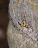 Hormigas que acarrean su presa encima de un árbol Fotografía de archivo libre de regalías