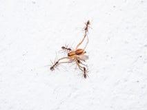 Hormigas que atacan la araña Imagenes de archivo