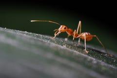 Hormigas que caminan en la hoja fotos de archivo libres de regalías