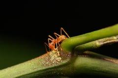 Hormigas que caminan en una rama Imágenes de archivo libres de regalías