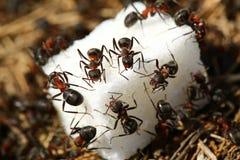 Hormigas que comen el azúcar Imagen de archivo