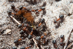Hormigas que comen el pelo grande caterpilar Fotografía de archivo