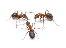 Hormigas que conectan con las antenas para crear la red Fotografía de archivo libre de regalías