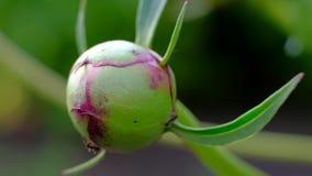 Hormigas que consiguen la planta de la peonía de Nectar From A almacen de video