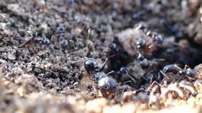 Hormigas que corren en la jerarqu?a y el hormiguero grande de la hormiga y hormigas que corren, almacen de metraje de vídeo