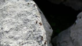 Hormigas que corren en una roca de la piedra caliza almacen de metraje de vídeo