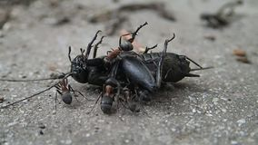 Hormigas que intentan desintegrar un grillo muerto metrajes