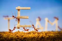 Hormigas que llevan al equipo de la fraseología Imagenes de archivo