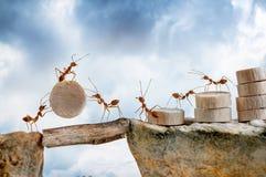 Hormigas que llevan el acantilado de madera de la travesía Imagenes de archivo