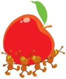 Hormigas que llevan una manzana roja Fotografía de archivo