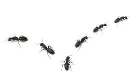 Hormigas que marchan Imagen de archivo libre de regalías
