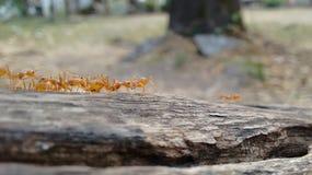 Hormigas que marchan Imagenes de archivo