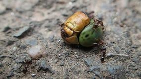 Hormigas que mueven la cabeza del dragón metrajes
