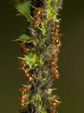 Hormigas que ordeñan áfidos Fotos de archivo libres de regalías