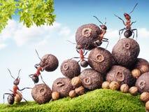 Hormigas que recogen las semillas en la acción, trabajo en equipo Imágenes de archivo libres de regalías