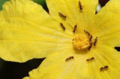 Hormigas que trabajan en la flor Fotos de archivo libres de regalías