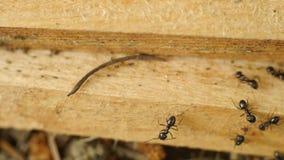 Hormigas que transportan cosas de un sitio a otro almacen de video