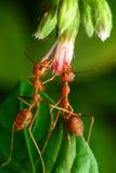 Hormigas rojas Fotografía de archivo
