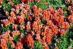 Hormigas rojas Imágenes de archivo libres de regalías