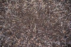 Hormigas rojas del bosque Fotografía de archivo libre de regalías