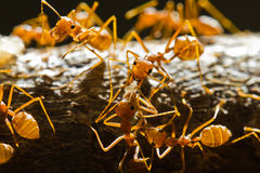 Hormigas rojas del tejedor Imagenes de archivo