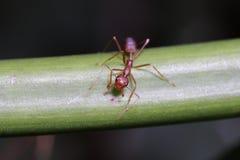 Hormigas rojas en la hoja Fotos de archivo