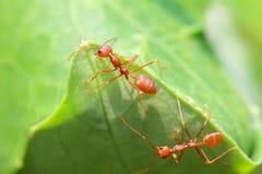 Hormigas rojas en la naturaleza Foto de archivo libre de regalías