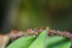 Hormigas rojas en una hoja verde Foto de archivo