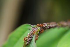 Hormigas rojas en una hoja verde Imágenes de archivo libres de regalías