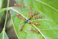 Hormigas rojas que atacan un insecto en la hoja Foto de archivo