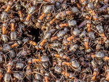 Hormigas rojas que se arrastran alrededor de la entrada de su jerarquía Imagen de archivo libre de regalías