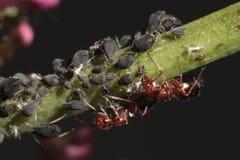 Hormigas rojas shepherding la planta-louses Imagen de archivo