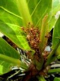 Hormigas rojas y los huevos Fotos de archivo libres de regalías