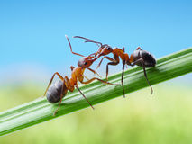 Hormigas, saludos con las quijadas Fotografía de archivo libre de regalías