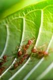 Hormigas tropicales en la hoja Foto de archivo
