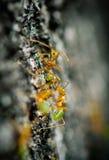 Hormigas verdes del árbol Imagen de archivo libre de regalías