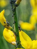 Hormigas y áfidos negros en la escoba común detalle de la naturaleza Fotografía de archivo libre de regalías