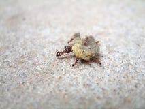 Hormigas y alimento Imagen de archivo
