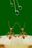 Hormigas y descensos de rocío Imagen de archivo