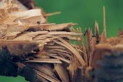 Hormigas y árbol quebrado Imagen de archivo libre de regalías