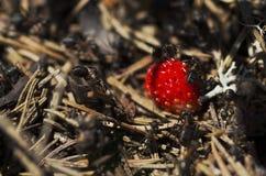 Hormiguero en el bosque Foto de archivo libre de regalías