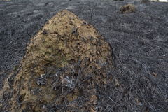 Hormiguero en el campo quemado Imagen de archivo libre de regalías