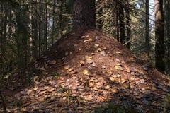 Hormiguero en un bosque del pino Imágenes de archivo libres de regalías