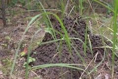 Hormiguero entre la alta hierba verde fresca Fotografía de archivo