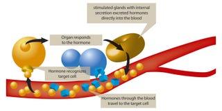 hormon vektor illustrationer