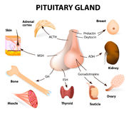 Hormonas sumarias secretadas de la glándula pituitaria Foto de archivo