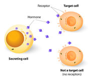 Hormones, receptors and target Cells Royalty Free Stock Photos