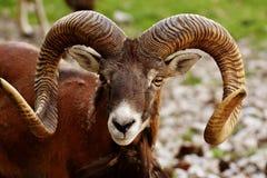 Horn, Argali, Fauna, Terrestrial Animal Stock Photo